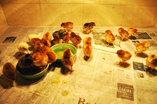 Chicks for Blog