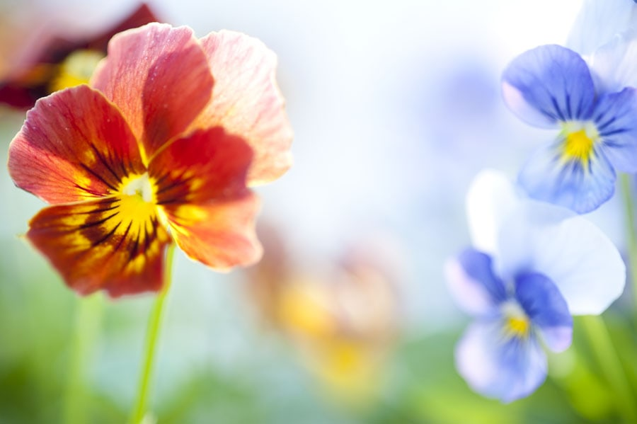 Edible Flowers to Grow
