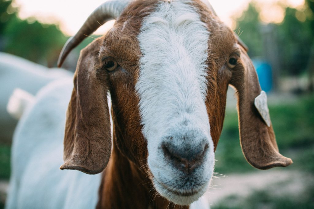Why You Should Consider Getting a Goat