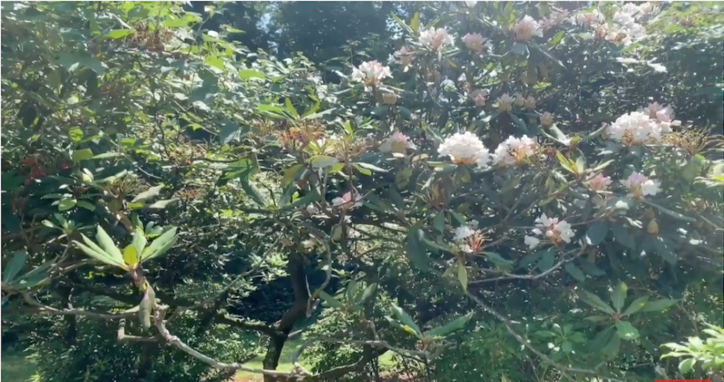 A Rhododendron Tour of Different Varieties